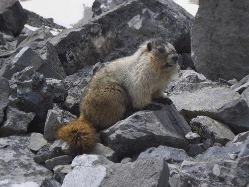 marmot canada glacier