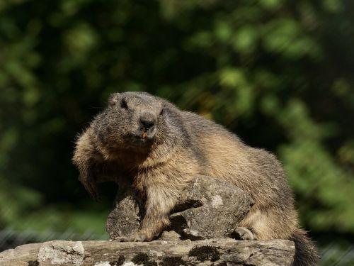 marmot rodent alpine