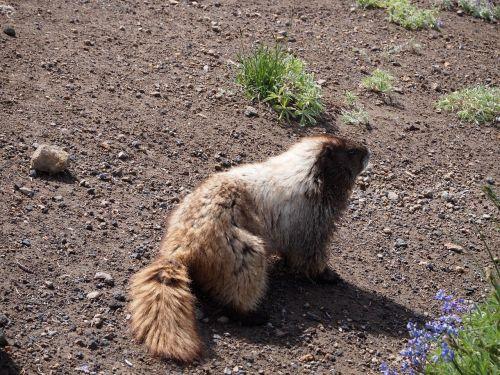 marmot dirt nature