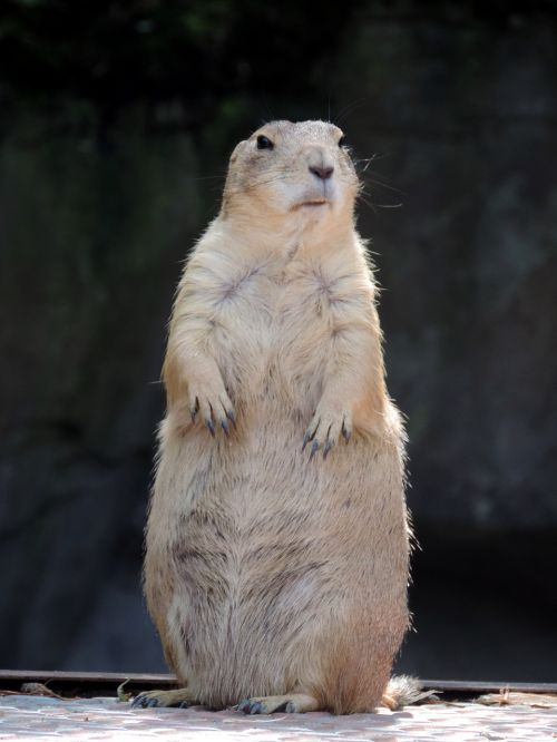 marmot rodent mankei