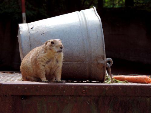 marmot rodent croissant