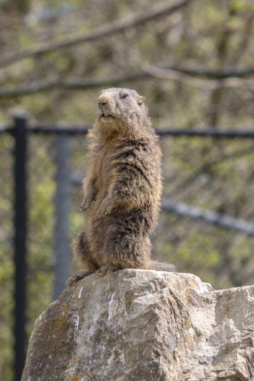 marmot zoo stand