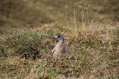 marmot alpine marmot munggen