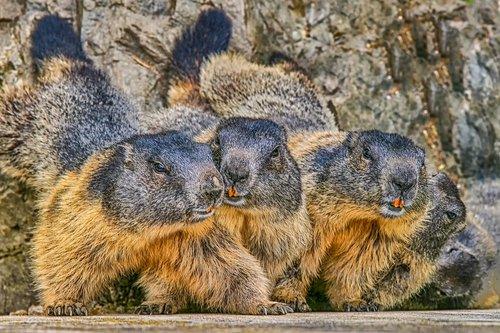 marmot  nature  animal