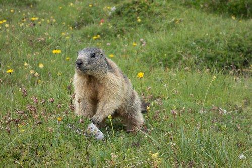 marmot  alpine  rodent