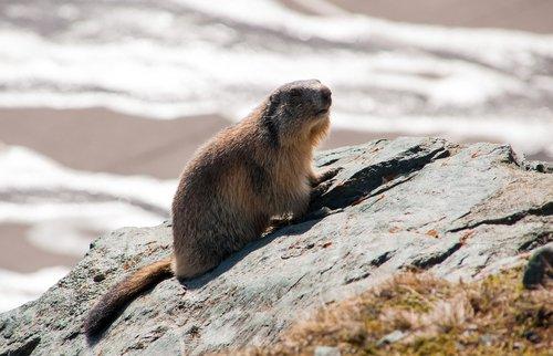 marmot  animal  rodent