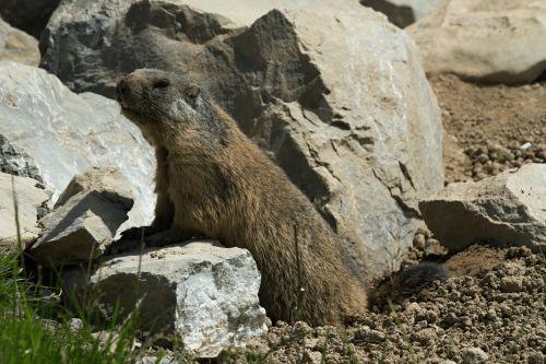 marmot rodent marmota