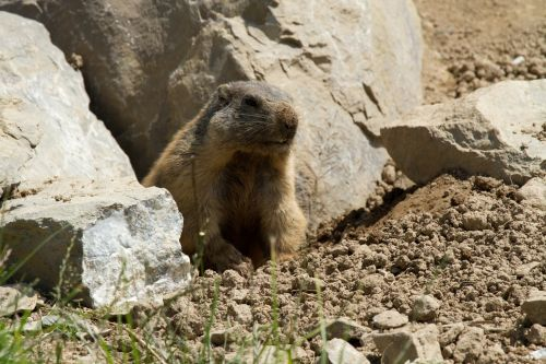 marmot rodent alpine marmot