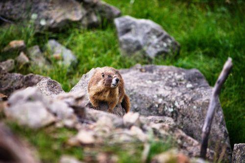Marmot On Boulder