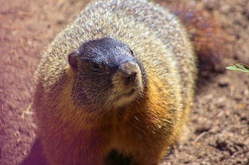 marmota flaviventris  rock chuck  yellow-bellied marmot
