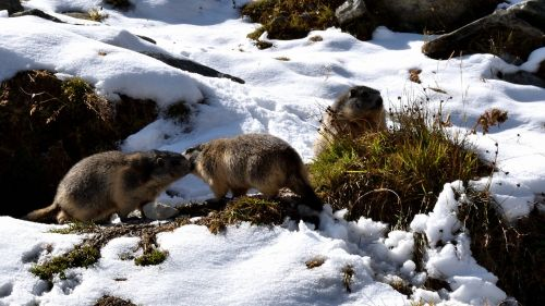 marmots snow nature