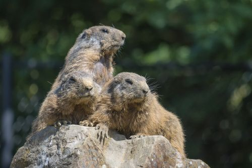 marmots group view
