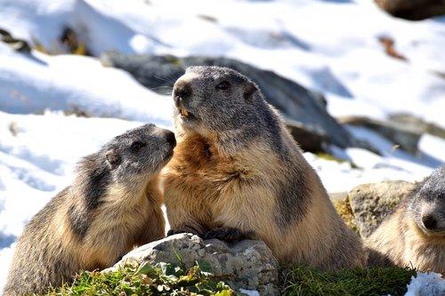 marmots  nature  snow