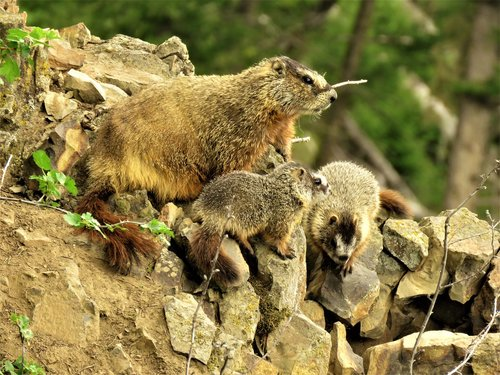 marmots  mother and young  rodent