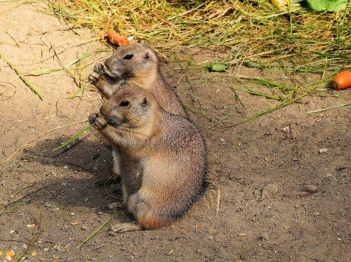 marmots gophers true gophers
