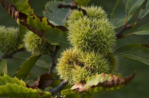 maroni chestnut prickly
