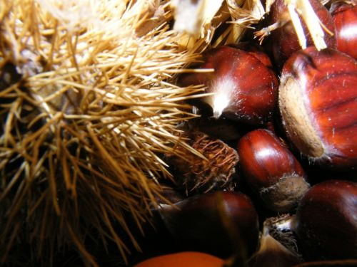 maroni sweet chestnuts autumn