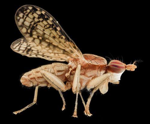 marsh fly insect macro