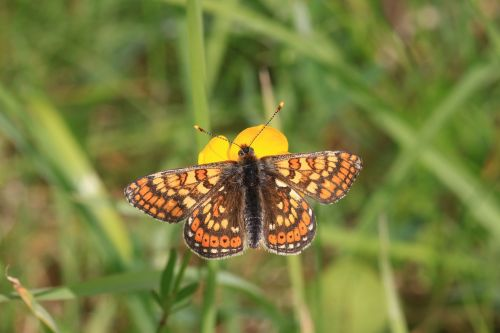 marsh fritillary butterfly euphydryas aurinia collure