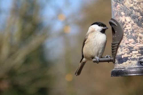 marsh tit garden bird feeder