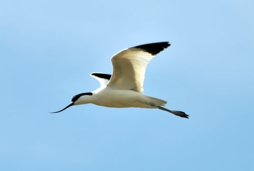 avocets marshes birds