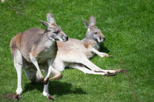 marsupial zoo kangaroos