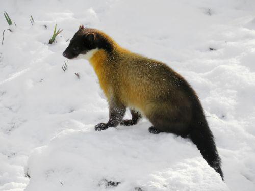 marten yellow throated marten predator