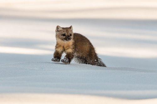 marten  snow  wildlife
