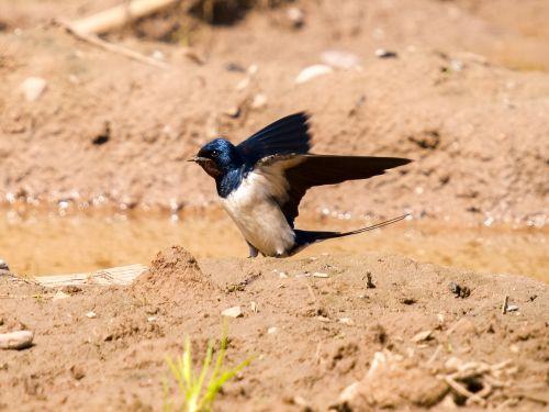 martin schwalbe bird