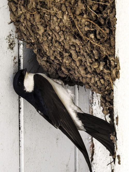 martin schwalbe nest