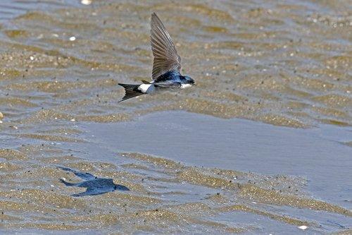 martin  swallow flying  bird in flight