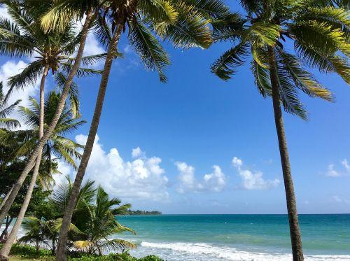 martinique coconut trees caribbean