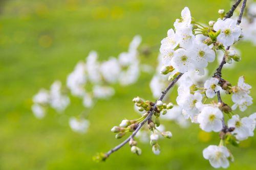 marvelous flowering cherry cherries paradise