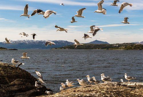 mås seagull fjord
