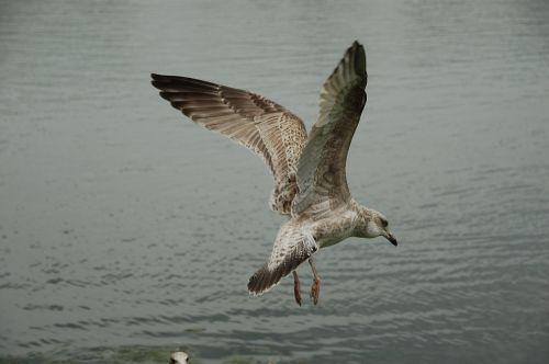måse seagull bird