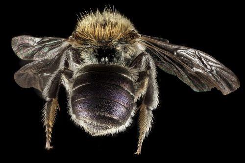 masonas bičių,makro,apdulkintojas,klaida,vabzdys,sparnai,Iš arti,laukinė gamta,žiedadulkės,šerti,montuojamas,galinis,jūsų geologinis tyrimas