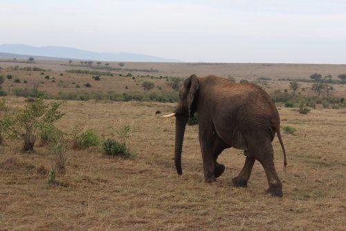 massai mara elephant kenya