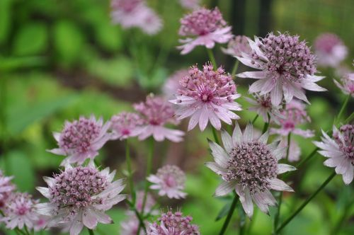 masterwort flowers nature