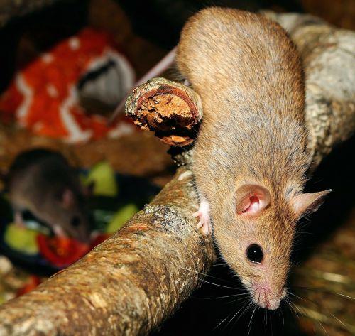 mastomys mice rodents