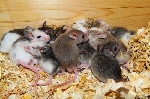 mastomys mice cute