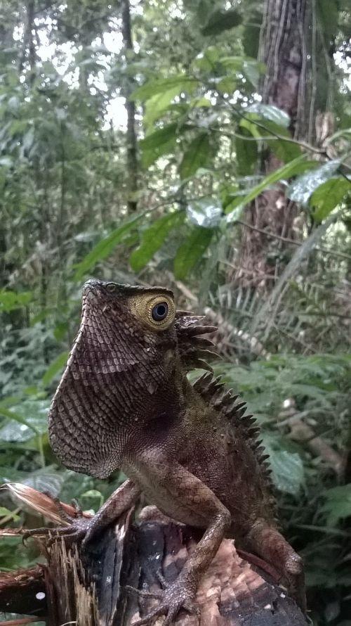 mata iguana wild