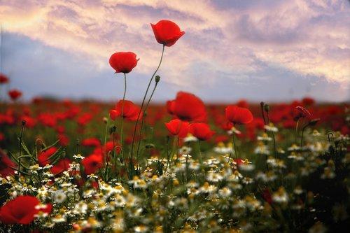 Mati, aguonos, gėlės, aguonos srityje, žydi aguonos, aguonos gėlė, meadow, laukas, dangus, debesys, debesis, Peržiūrėti, Saulutės, žolė, mažos gėlės, Daisy, gėlė, augalų, žydi, gamtos grožis, pobūdį, augalai