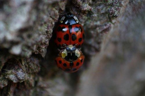 mating  ladybird  spots