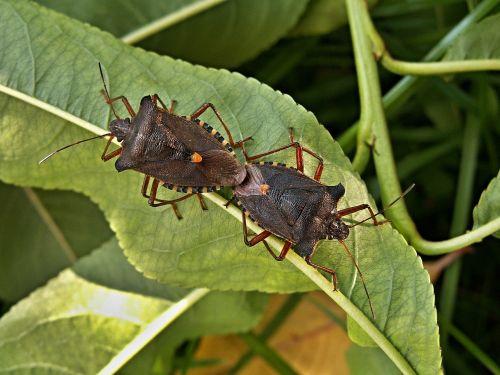 mating bugs peach leaves macro