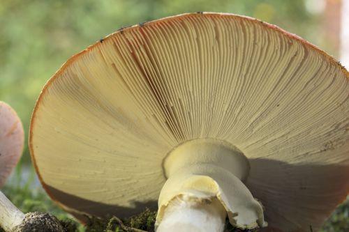 matryoshka red fly agaric mushroom mushrooms