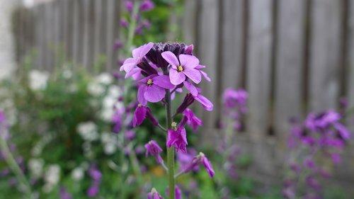 matthiola  one-year  bloom