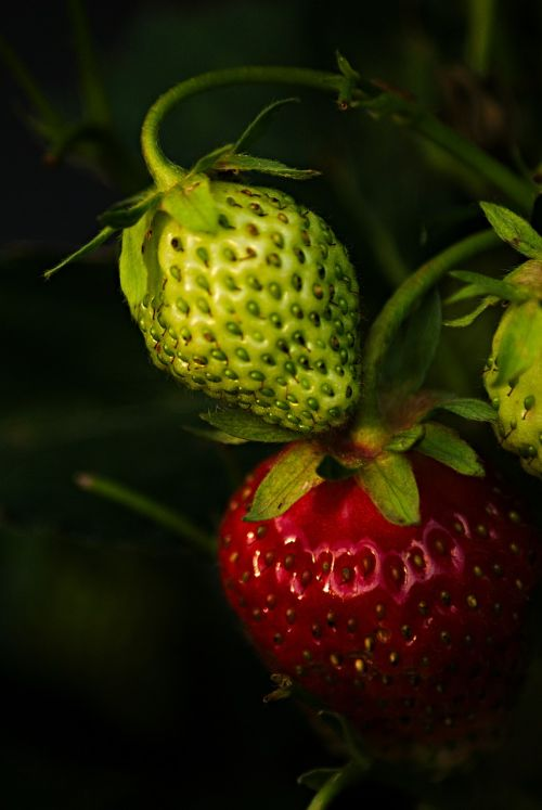 mature immature strawberry