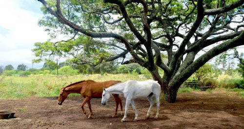 maui hawaii horses