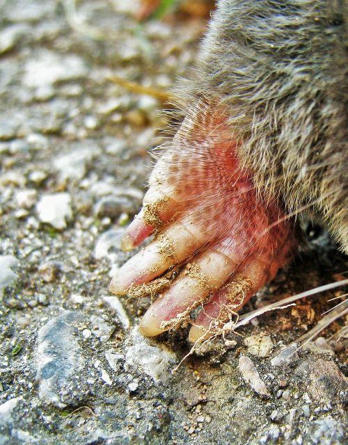 maulwurf talon mole talpidae
