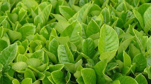 mauritius  bois chéri  tee